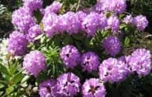 Декоративные кустарники, особенности их размещения в саду