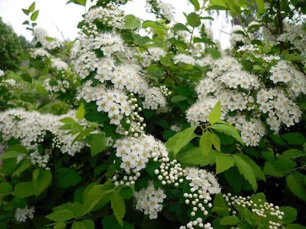 Весенние декоративные цветущие кустарники