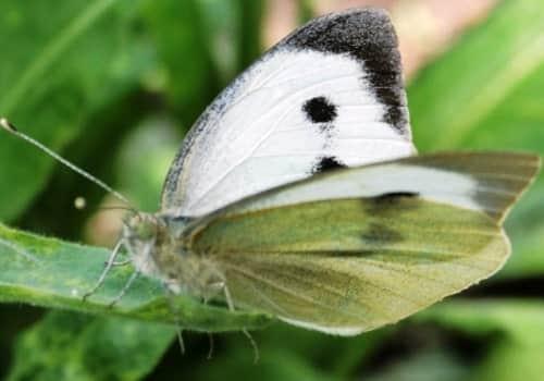 Белые бабочки-капустницы