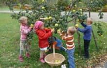 Как вырастить айву на садовом участке