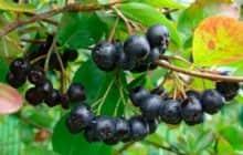 Как вырастить черноплодную рябину на даче