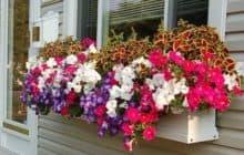 Как вырастить петунии: советы начинающим садоводам