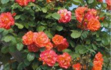 Розы парковые оптом